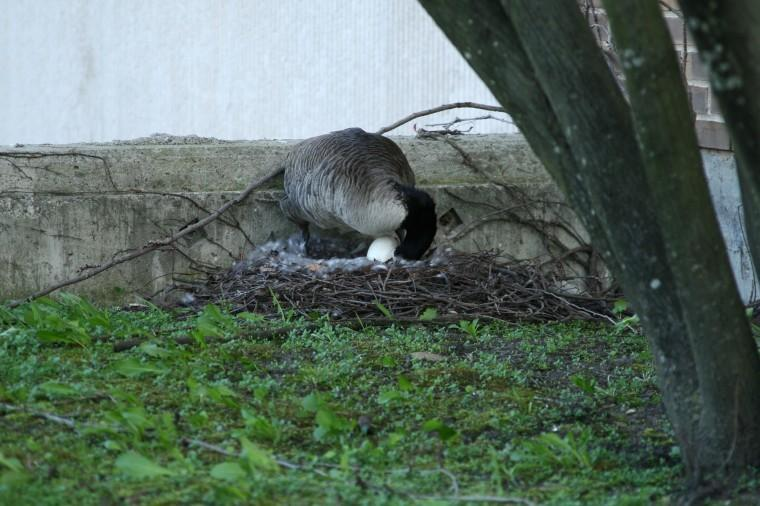 A goose nesting near Founders Memorial Library moves her egg.