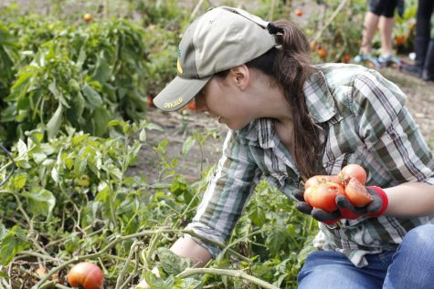 NIU alumna Elizabeth Justice collects tomatoes Oct. 5 at the Communiversity Gardens. Students can keep busy this summer by volunteering for the gardens.