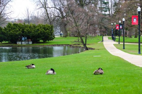 Geese lay in the grass April 18 at the lagoon by the NIU enterance.