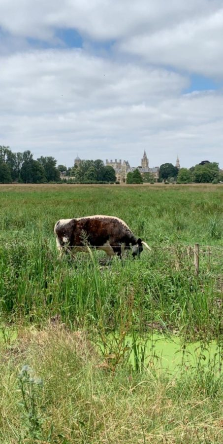 A long horn cow grazes Saturday in the Christ Church Meadow.