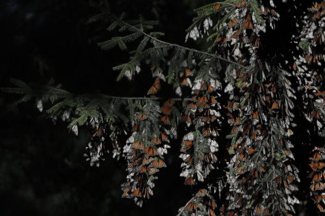 Monarch butterflies cling to branches in their winter nesting grounds in El Rosario Sanctuary, near Ocampo, Michoacan state, Mexico, Friday, Jan. 31, 2020.