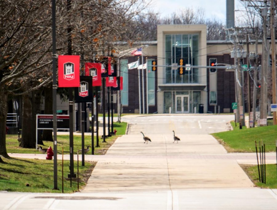 Geese cross over a vacant sidewalk Monday near the Founders Memorial Library.