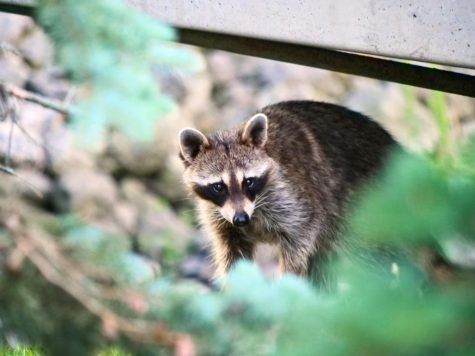 A raccoon crosses under a bridge near NIU