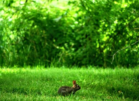 A rabbit sits in the grass East of the Lagoon on a sunny, mild day.