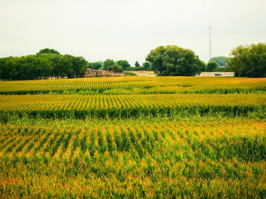 Corn changes color as fall approaches along Highway 88, on September 1st.