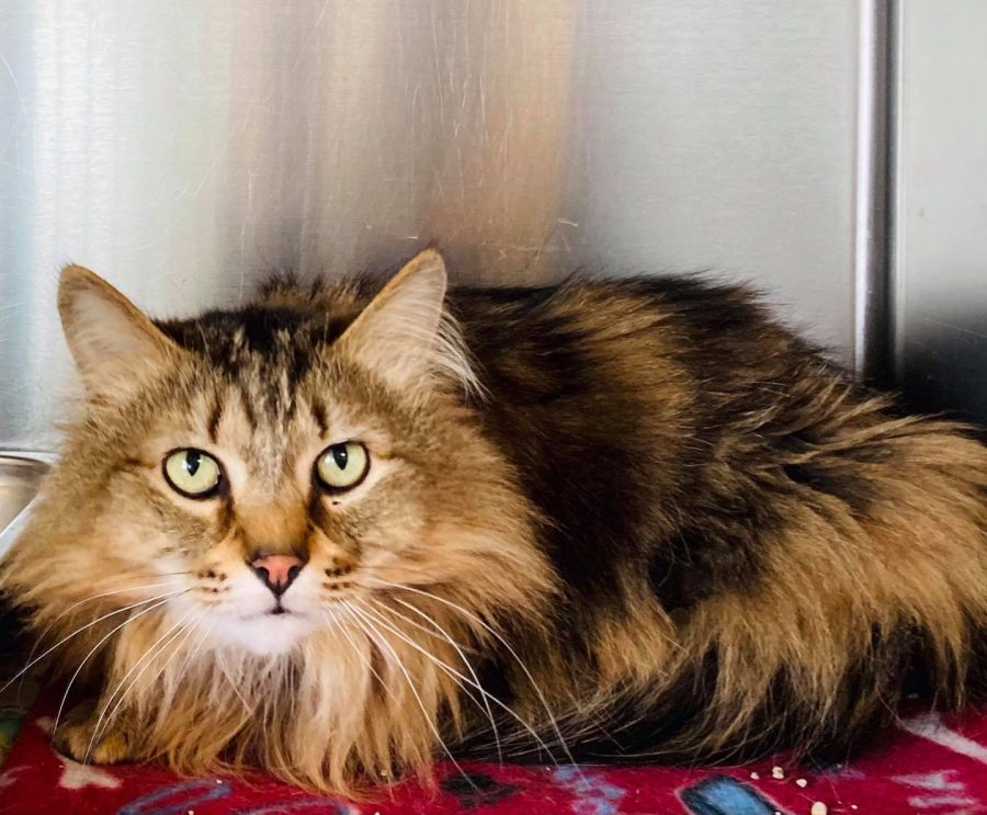Boomer is a 6-year-old domestic longhair male cat.