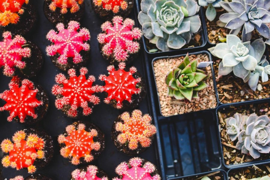 NIU Biological Graduate Student Association will sell succulents for  Valentine's Day until Feb. 11 to establish travel and research grants.