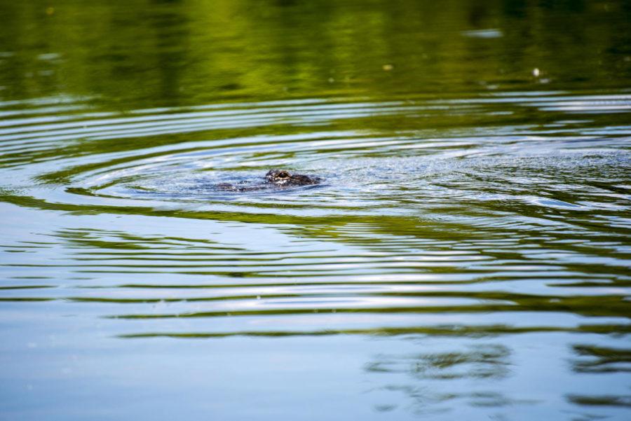 New Orleans, Louisiana, An alligator