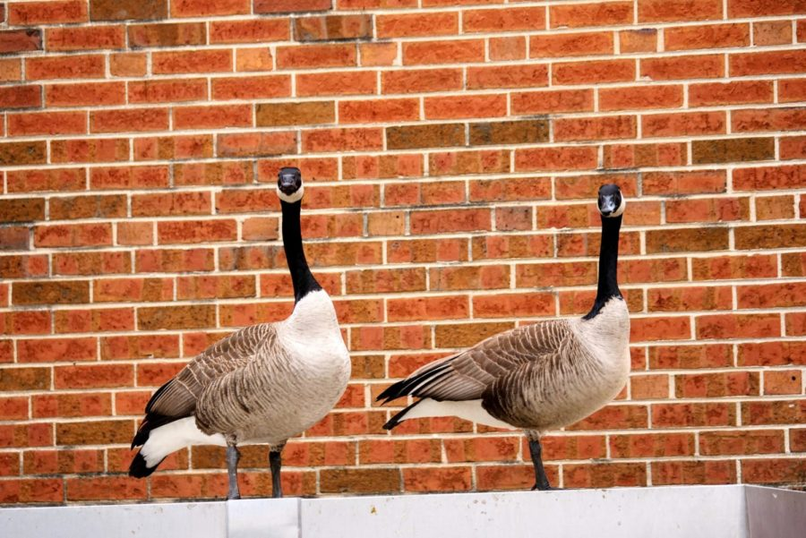 Two geese stand on the side of Cole Hall on Friday, March 12, 2021.
