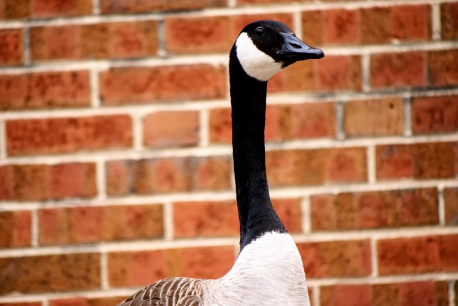 A goose stands on the roof of Cole Hall on March 12, 2021.