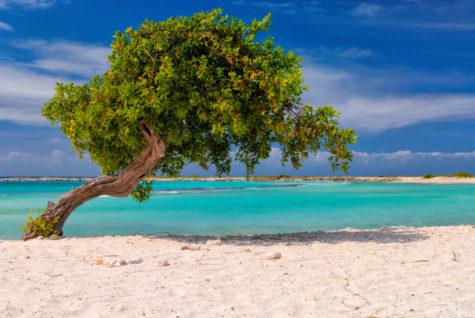 A small Fofoti tree sits on Baby Beach on the Island of Aruba.