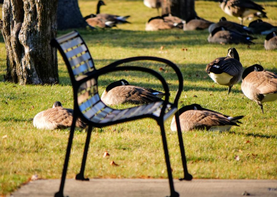 Geese rest in the grass outside of Reavis Hall on December 3, 2020.