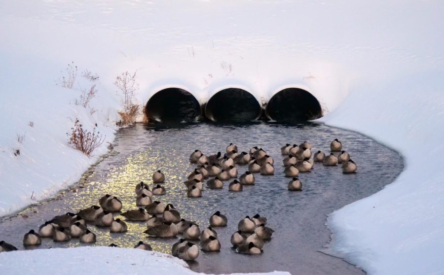 Geese sleep in the stream outside of Grant Towers on Friday, February 5, 2021.