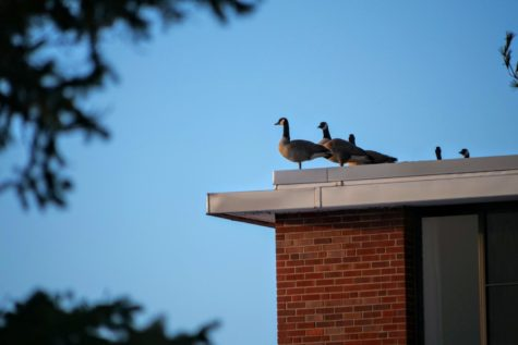 Geese sit at the edge of the roof of Neptune West Hall Thursday February 2021.