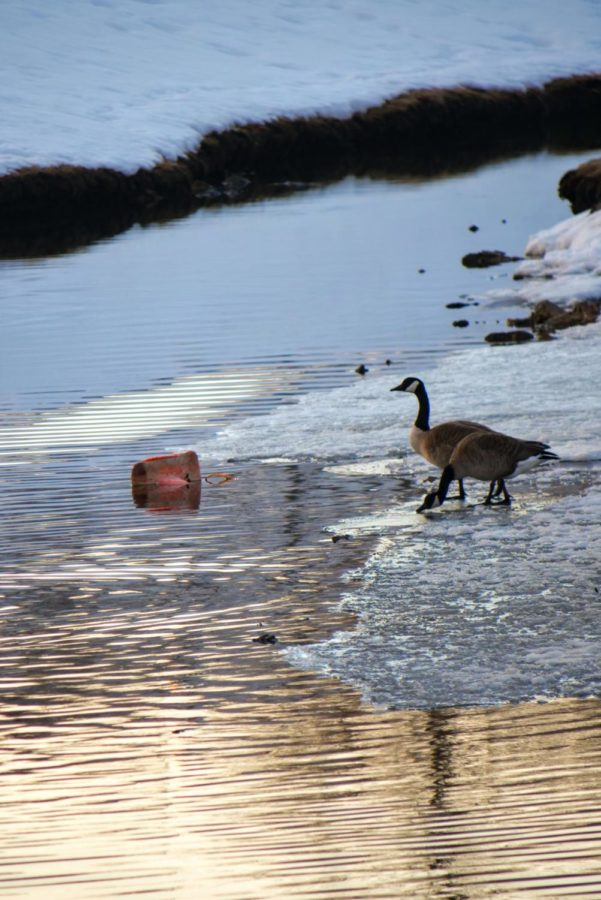 Two geese stand on on ice in the stream outside of Neptune Hall on February 25, 2021.