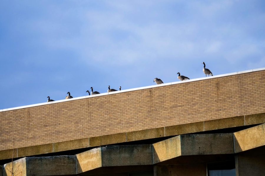 Geese stand in a line along the roof of Faraday Hall on September 2, 2021.