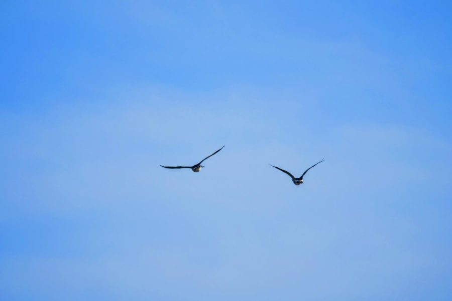 Two geese fly over NIU's campus on March 22, 2021.