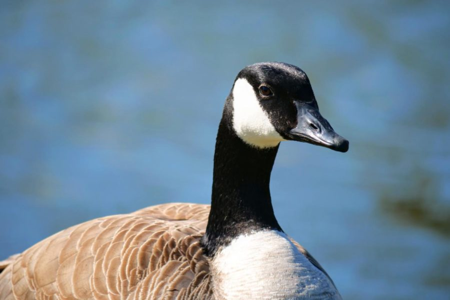 A goose walks along the East Lagoon Thursday on NIU's campus.