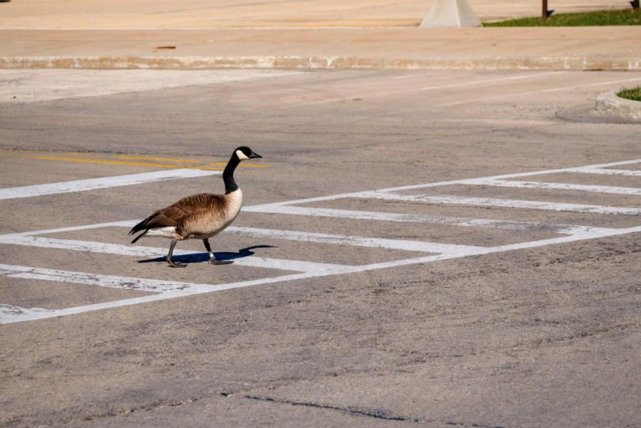A goose crosses the street Thursday at Gilbert Drive and College Avenue.