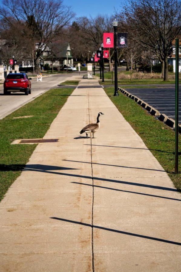 A goose crosses the sidewalk towards the Lagoon Thursday.