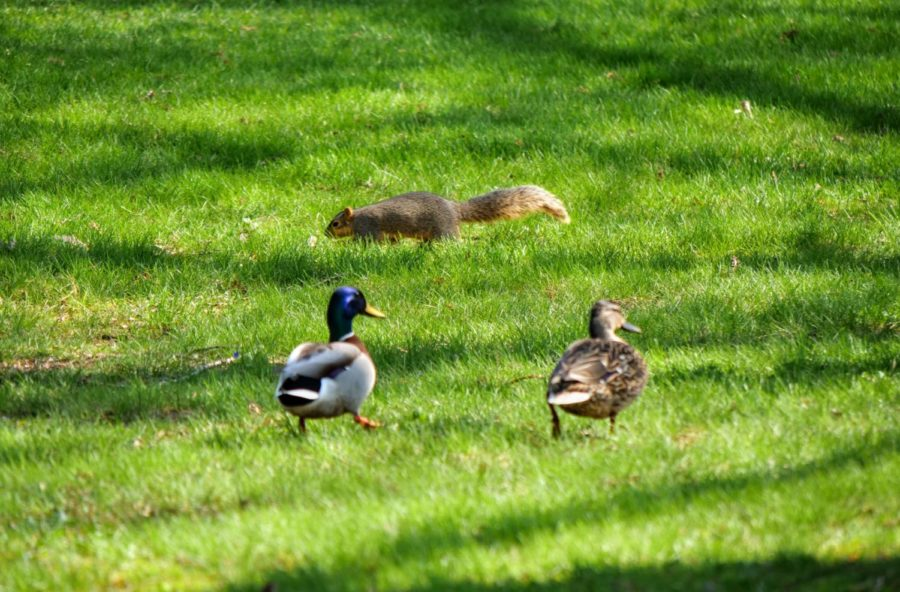Two ducks and a squirrel walk through the grass Thursday by the East Lagoon.