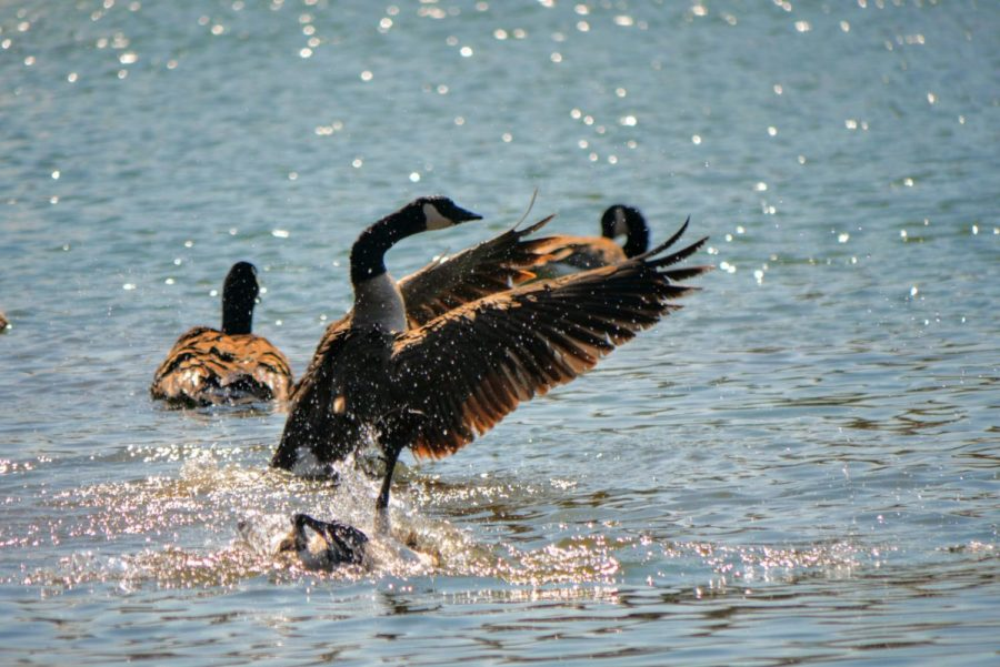 A goose flaps its wings Thursday in the East Lagoon.
