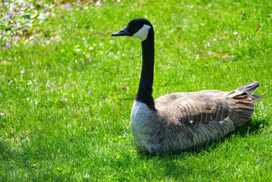 A goose sits in the grass Thursday by the East Lagoon.
