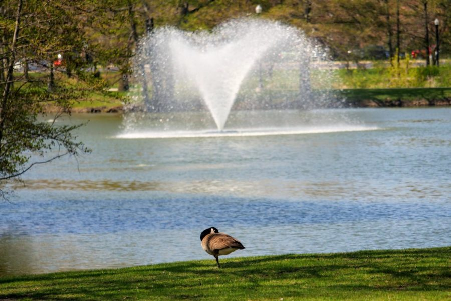 A goose stands on one leg Thursday in the grass next to the East Lagoon.