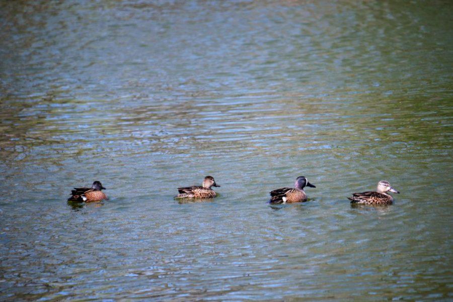 Four ducklings swim Thursday in the East Lagoon.