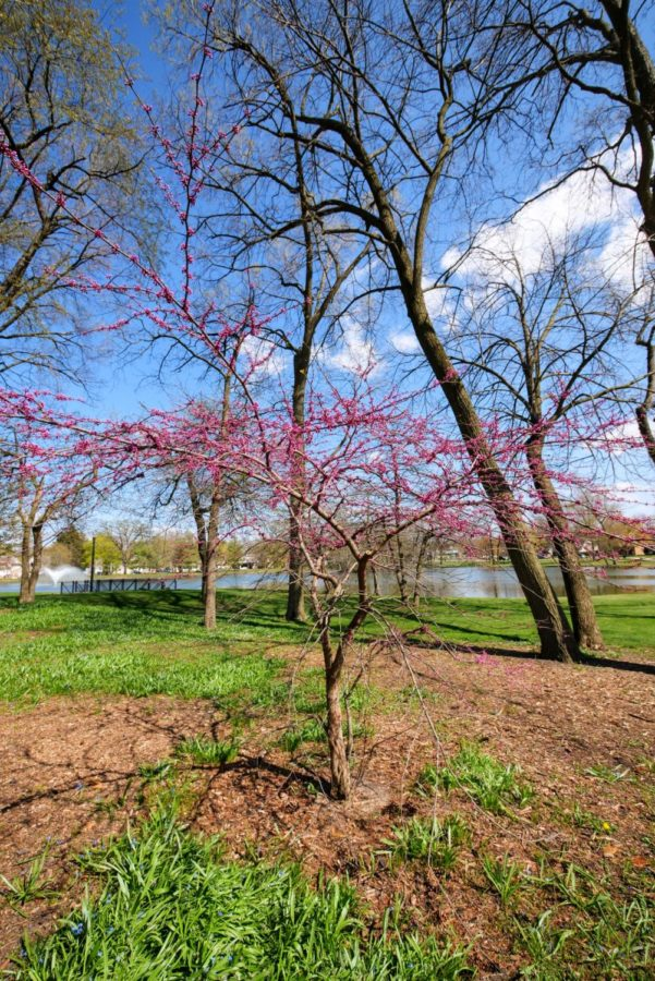 A small tree begins to bloom Thursday near the East Lagoon.