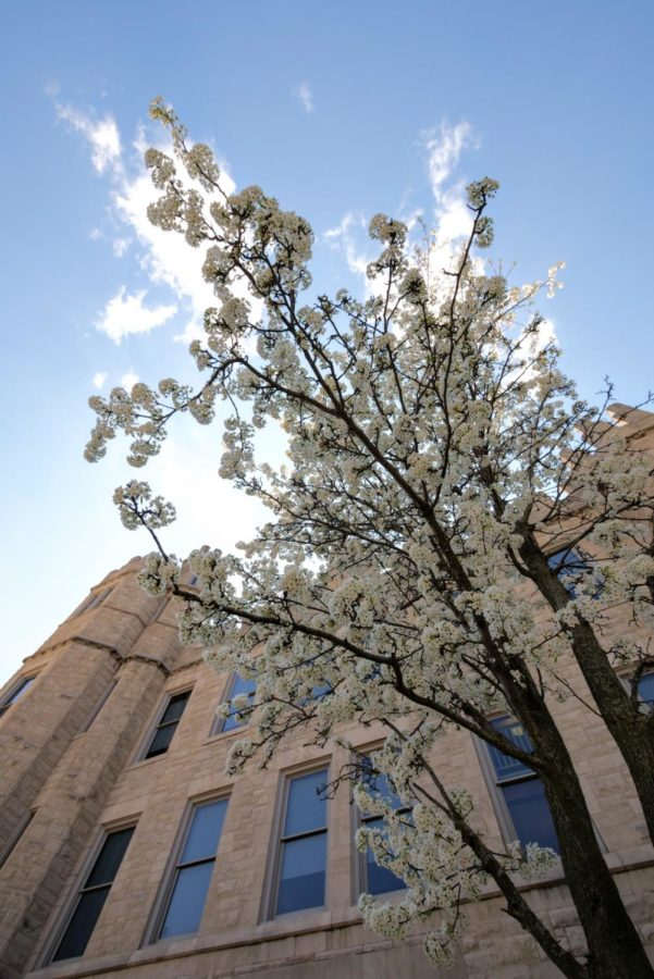 White flowers blossom on a tree outside of Altgeld Hall Thursday on NIU's campus.