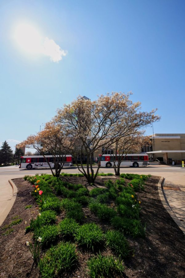 Flowers bloom on trees Thursday outside of Adams and Williston Hall at NIU.