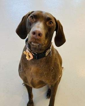 6-year-old mixed-breed Pointer and German Shorthair dog named Nelli.