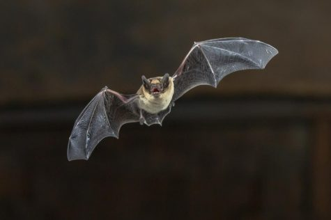 Pipistrelle bat (Pipistrellus pipistrellus) flying on wooden ceiling of house in darkness.