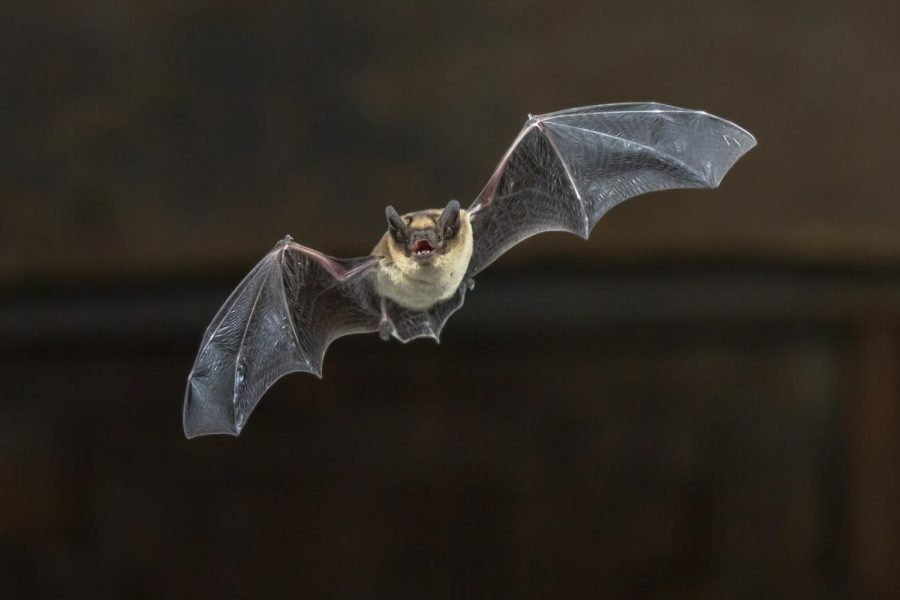 Pipistrelle+bat+%28Pipistrellus+pipistrellus%29+flying+on+wooden+ceiling+of+house+in+darkness.