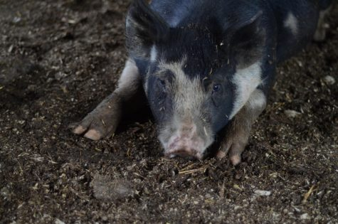 One of the pigs raised by the family, named Kevin.