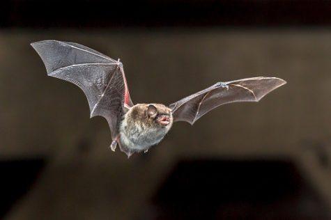 Daubentons bat (Myotis daubentonii) flies on the attic of a house.