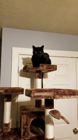 A black cat, named Beef, sitting on a cat tower.
